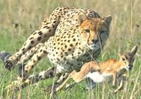 Il ghepardo e la gazzella
